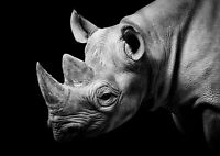 Awesome Wild Rhino Poster Print Size A4 / A3 Wild Animals Poster Gift #8578