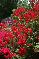 Crepe Myrtle Lagerstroemia indica Red Rooster pint plant