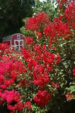 Crepe Myrtle Lagerstroemia indica Red Rooster 50 seeds