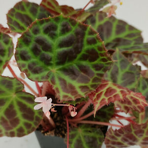 Begonia rajah - Begonie