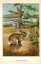 """1926 Vintage ANIMALS """"COTTONTAIL RABBIT"""" GORGEOUS COLOR Art Print Lithograph"""