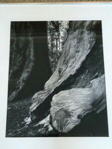 "1974 Bruce Barnbaum Two Sequoias 45-1296A Photograph 19"" x 15"""