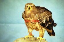 PHOTO  1999 SUFFOLK EAGLE AT SUFFOLK OWL SANCTUARY THE SUFFOLK OWL SANCTUARY IS