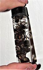 10 WHOLESALE LOT AZ BLACK WIDOW REAL PRESERVED SPIDER WET SPECIMEN 2.5in VIAL