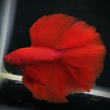 Live Betta Fish Super Red DTHM Male from Indonesia Breder