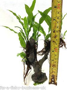 Jungle Tree Java Fern Microsorum Pteropus Plant Moss co2 Marimo #4