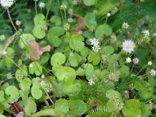 Brazilian pennywort Hydrocotyle leucocephala aquarium plant - living species