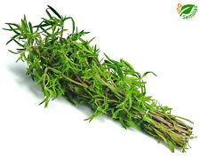 Ajedrea de Jardin Anual ( Satureja hortensis ) 1.500 semillas seeds  - de verano