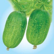 40 Bangladeshi Seeds, Hybrid Short Cucumber/ Khira/ খিরা। 100% Finest Quality