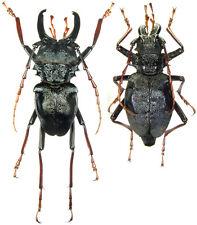 Insect - Prionocalus cacicus - Peru - Pair 50mm+ ....!!