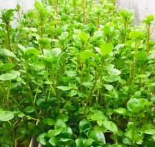 ⭐️SELLER ⭐️ORGANIC WATERCRESS 10 plants Nasturtium aquaticum oxygen pond  Algae