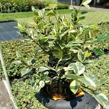 "36 4 inch Asiatic Minima Jasmine ""Variegated""  plants"