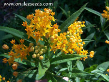 24+ YELLOW/ORANGE/GOLD BUTTERFLY MILKWEED SEEDS, Monarch Host, SHIPPING FROM USA