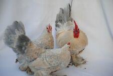 6 Pure Breed Booted Bantam Hatching Eggs (Show Stock) L1