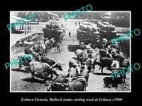 OLD LARGE HISTORIC PHOTO OF ECHUCA VIC, BULLOCK TEAMS ARRIVING WITH WOOL c1900