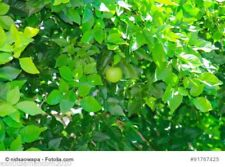 Aegle marmelos Bengalische Quitte Bael Frucht 100 Samen