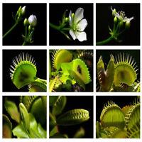 50Pcs Dionaea Muscipula Venus Flytrap Carnivorous Plant Flower Seeds Hot