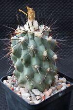 Kakteen Kaktus Copiapoa oliviana, WE, own roots, not Ariocarpus