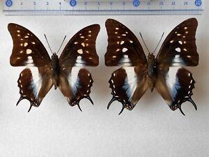 Polyura cognata  1Pair  from  Palu, Sulawesi, INDONESIA