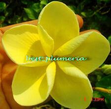 Plumeria Seeds/Flowers/Plants/Danaihawai/Fresh 50 seeds