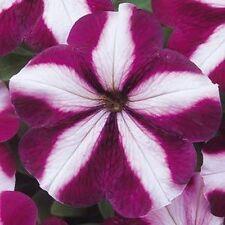 50 Petunia Madness Burgundy Star Seeds