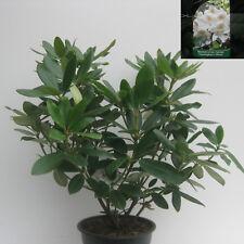 Rhododendron Cunninghamms White (weiß) ca40cm hoch buschig gewachsen im 4l Topf