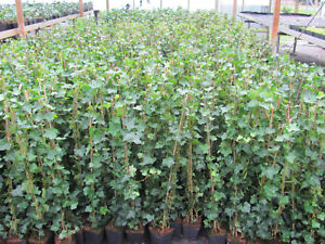 Hedera hibernica 60 - 80 cm  Efeu Bodendecker Zaun Kletterpflanze immergrün Top