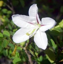 Bauhinia Natalensis - Natal Dainty - Rare Tropical Plant Bonsai Tree Seeds (5)