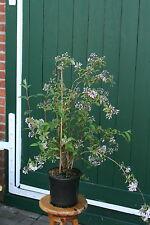 Rosendeutzie Deutzia hybrida 'Mont Rose' Deutzie 60 - 100 cm im Container