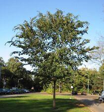 Ulmus parvifolia | Chinese Elm | Lacebark Elm | 10_Seeds