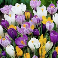PRE-ORDER - 20 x Humphreys Garden Crocus Mixed.Colourful Spring Flower bulbs