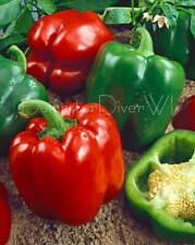 CALIFORNIA WONDER Large Bell Pepper 50+ Seeds Organic NON-GMO Heirloom