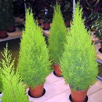 50 Samen Lebensbaum Zypresse Cupressus sempervirens Baumsamen-Säulenzypress A9E5