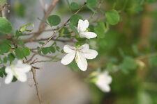 RARE 3 graines d'Arbre à Orchidées(Bauhinia Natalensis)G50 SEEDS SAMEN SEMILLAS