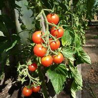 Rosa Party Tomaten,Saatgut 10+ Stück Samen