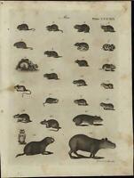 Mus Genus Small Mammals Capybara Mice Rodents Vermin 1798 antique engraved print