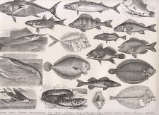 Tavola zoologica, 1850 xilografia Pesci, pesce volante, murena...