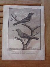 Grimpereau du Cap de Bonne-Espérance Gravure extraite du voyage aux Indes Chine