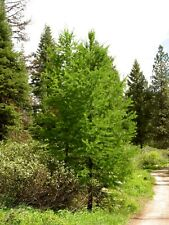 Western Larch	(Larix occidentalis) 50 seeds