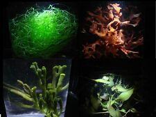 SUPERGREEN MIX | Macro Algae | Chaeto | Red Dragons Tongue | Codium | Caulerpa
