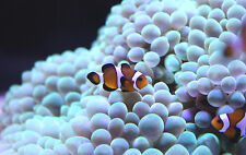"Live Saltwater Fish - 3X .75"" Mocha Clown - Nano Nemo Clowns"