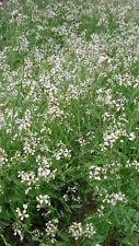 100 Semillas de Rucula (Eruca vesicaria ssp sativa) seeds