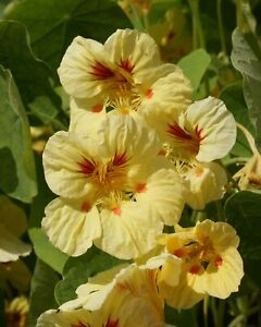 25 NASTURTIUM PEACH MELBA FLOWERS GARDEN US SELLER SHIPS OUT FAST
