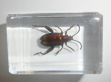 Frog-legged Jewel Beetle Sagra femorata Clear Block Education Insect Specimen