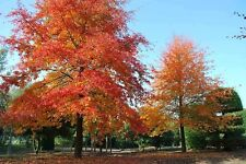 Nyssa sylvatica / Black Gum or Tupelo, superb tree, pot grown, peat free, 7ft