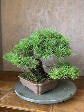 Pinus Parviflora Shohin