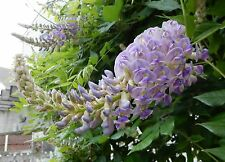 "Blue Moon Wisteria Vine Shrub - Heat Tolerant/ Cold Hardy - 2 Plants 6"" + Tall"