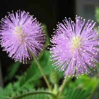 MIMOSA PUDICA 80+ SEEDS SENSITIVE PLANT FOLIAGE FLOWERING FREE SHIPPING CREEPING