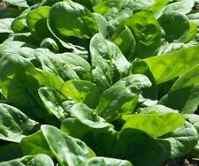 NEW ZEALAND SEA SPINACH 90 SEEDS Edible Groundcover Tetragon Heat Tolerant USA