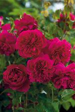 THOMAS A BECKET - 5.5lt Potted David Austin Garden Shrub Rose - Red, Fragrant